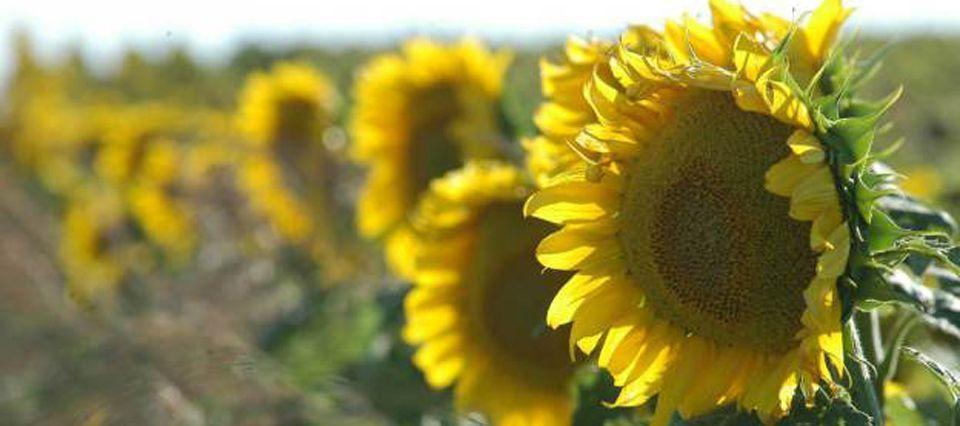 CAE LA EXPECTATIVA DE PRODUCCIÓN MUNDIAL DE GIRASOL POR LAS MERMAS EN UCRANIA Y RUSIA